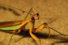 """Ruth J. Hirsch, Not Only Humans Pray: Praying Mantis, Un-manipulated photograph, 8"""" x 10"""" (framed, 12"""" x 15"""") $118"""