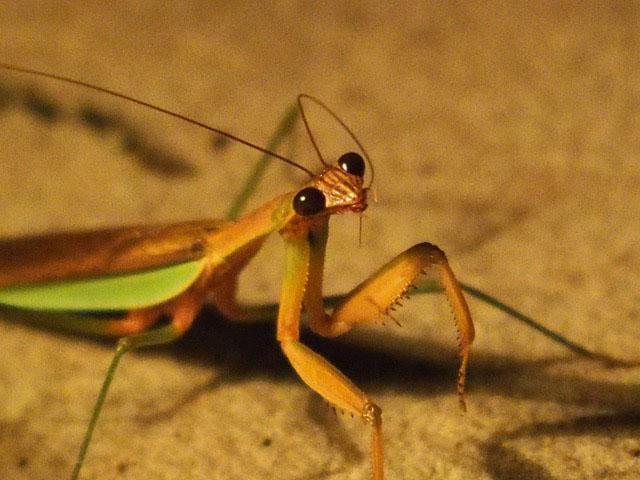 Not Only Humans Pray: Praying Mantis